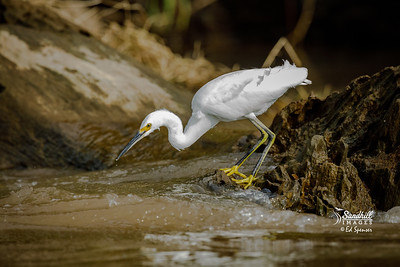 Snowy egret on the Tarcoles River in CR