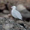 Audouin's gull, Ichthyaetus audouinii,