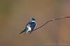 Tree Swallow<br /> Ithaca, NY