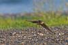 Barn Swallow<br /> Lansing, NY