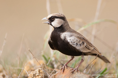 Ashy-crowned Sparrow-Lark - Gujrat, India