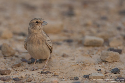 Ashy-crowned Sparrow-Lark - Female - Kutch, Gujrat, India