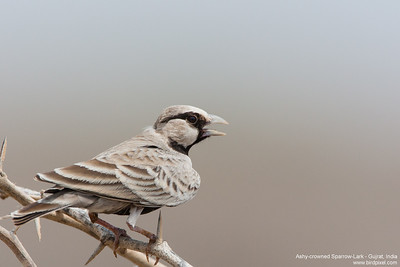 Ashy-crowned Sparrow-Lark - Male - Kutch, Gujrat, India