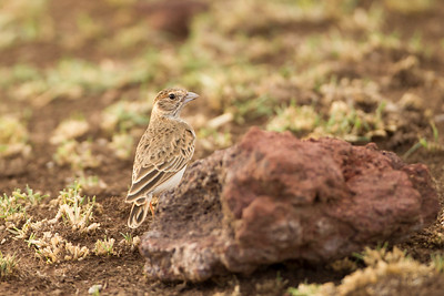 Fischer's Sparrow Lark - Female - Lake Manyara National Park, Tanzania