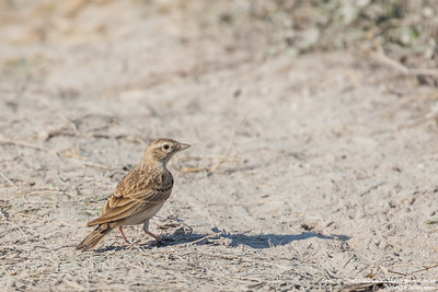 Greater Short-toed Lark - Maharashtra, India