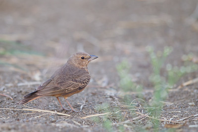Rufous-tailed Lark - Near Koradi, Nagpur, India