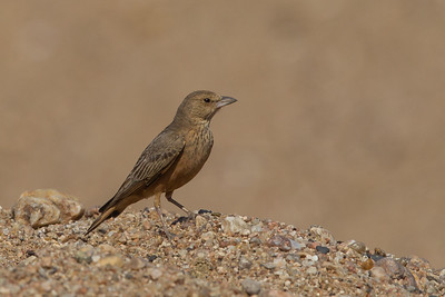 Rufous-tailed Lark - Nagpur, India