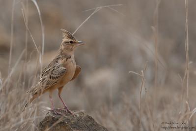 Sykes' Lark / Tawny Lark - Kutch, Gujrat, India