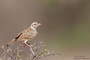 Indian Bushlark - Kutch, Gujrat, India