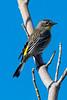 Yellow-RumpedWarbler0811