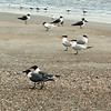 Foreground - Laughing Gulls<br /> Background - Royal Terns<br /> Tybee Island