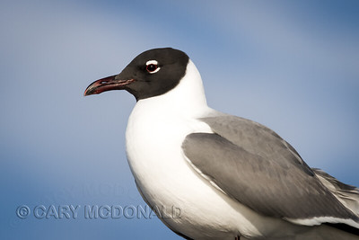 Laughing Gull, that is not laughing