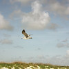 Laughing Gull (first winter)<br /> Tybee Island