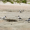 A Royal Tern and a Laughing Gull look as though they're starting a bonfire! <br /> Left:  Royal Tern<br /> Right:  Laughing Gull
