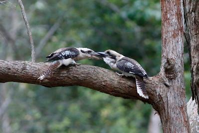 Laughing Kookaburra Argument