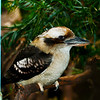 Laughing Kookaburras :