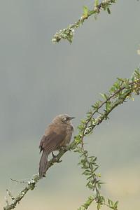 Black-lored Babbler (Sharpe's Babbler) - Lake Nakuru National Park, Kenya