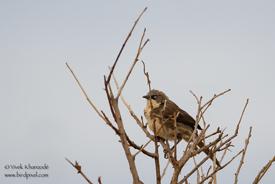 Brown Babbler - Tarangire National Park, Tanzania