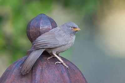 Jungle Babbler - Ambazari garden, Nagpur, India