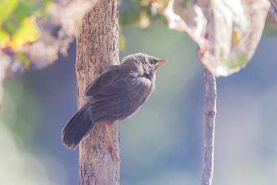 Jungle Babbler - Record - Pench National Park, Madhya Pradesh, India