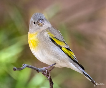 Lawrences Goldfinch