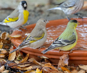 Female Lawrences Goldfinch