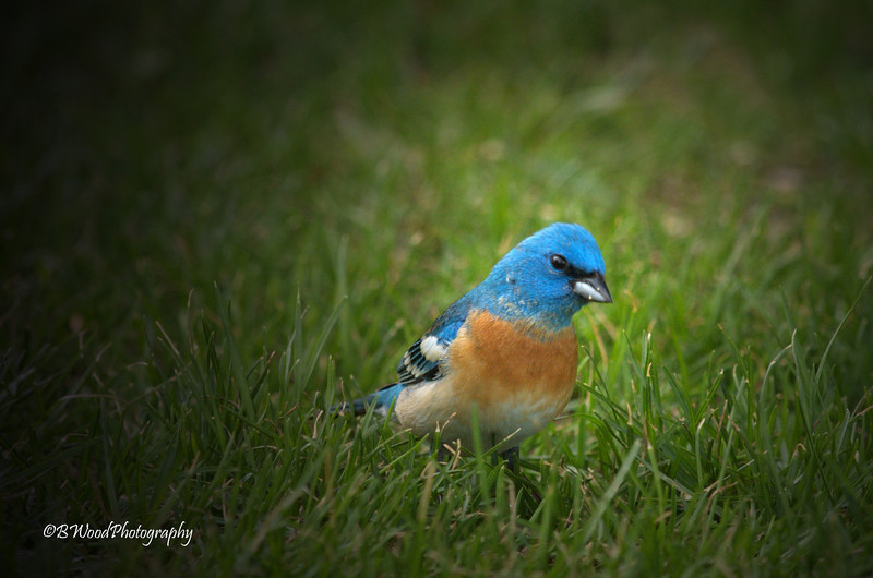 PA 08MY0514<br /> <br /> The Lazuli Bunting is named for the gemstone lapis lazuli.