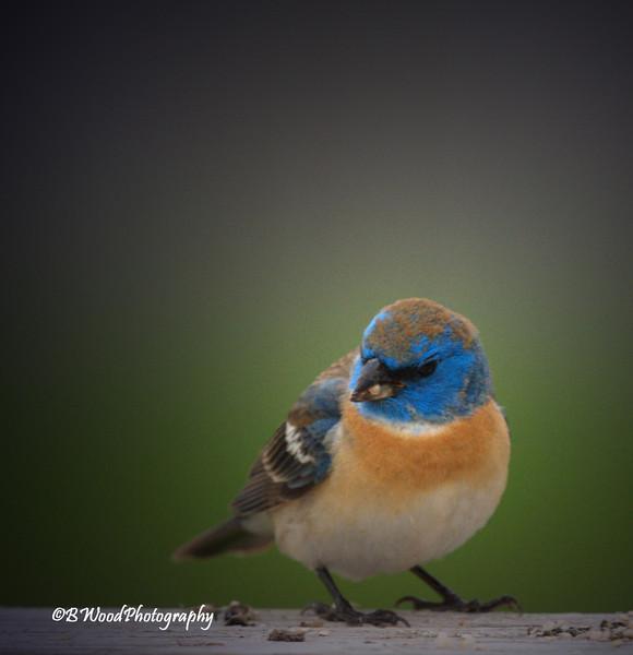 PA 08JU1594  Immature Male Lazuli Bunting