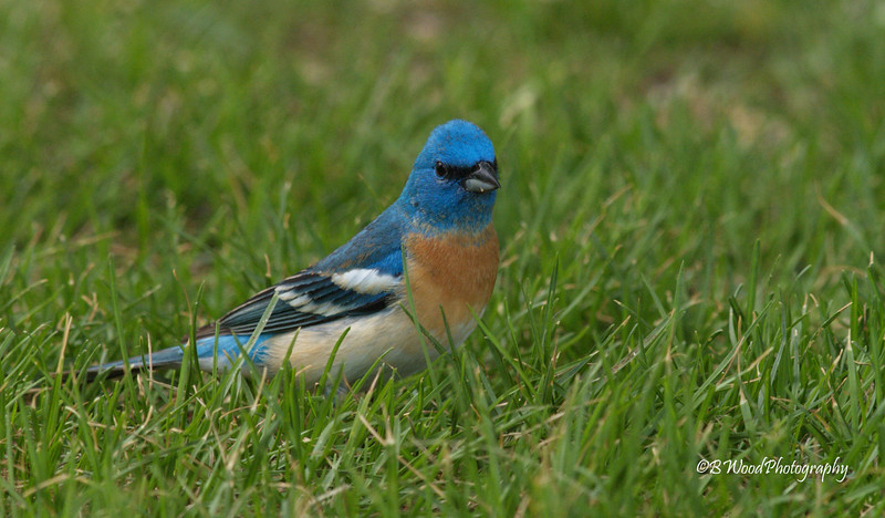 PA 08MY0517 Male Lazuli (Laz-U-Lie or La-Zoo-Lee) Bunting.<br /> <br /> Each male Lazuli Bunting two years of age and older sings only one song, composed of a series of different syllables, and unique to that individual.