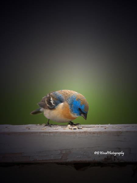 PA 08JU1606 Immature Male Lazuli Bunting