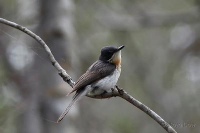 Leaden Flycatcher - Female