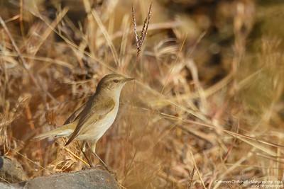 Common Chiffchaff - Maharashtra, India