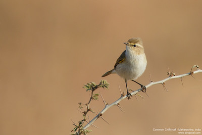 Common Chiffchaff - Maharashtra, India