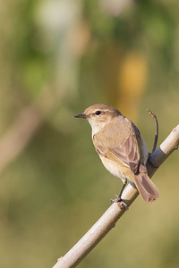 Common Chiffchaff - Near Koradi, Nagpur, India
