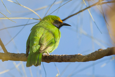 Golden-fronted Leafbird - Pench National Park, Madhya Pradesh, India