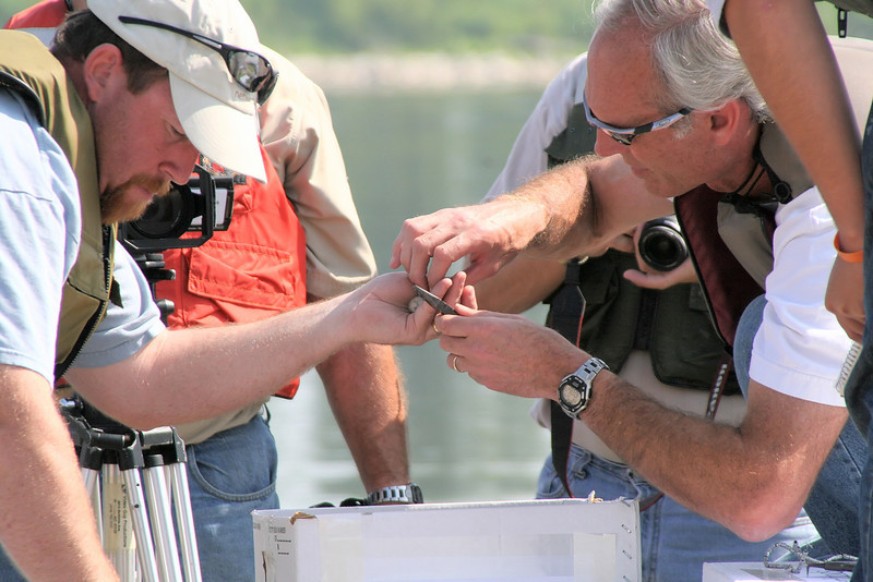 July 24, a group of members of the Army Corps of <br /> Engineers and two ornithologists, one from IDNR <br /> and the other from INHS, boated out to the barges <br /> to start banding young chicks.<br /> Photo by US Army Corps of Engineers - Rivers Project Office