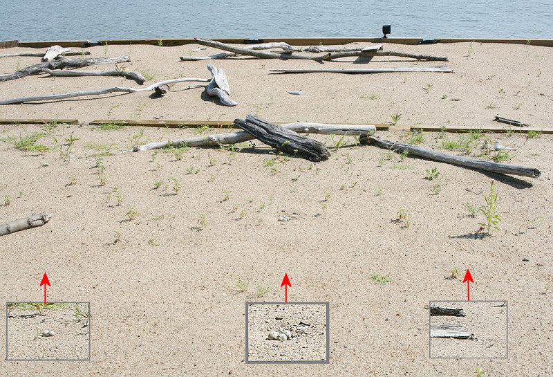 In this photo you can see three nests.  One is in the middle left of <br /> the picture and the other is in about the center of the picture.  <br /> The hatchlings are at the  end of the long plank in the background. <br /> 7 July 2009 <br /> Photo by US Army Corps of Engineers - Rivers Project Office