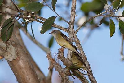 Lemon-bellied Flycatchers