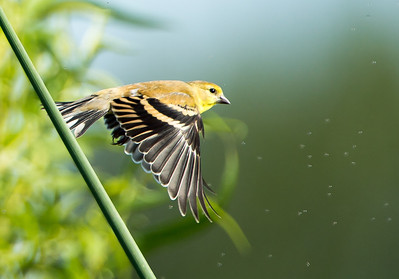 Lesser Goldfinch (Spinus psaltria)