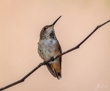 Allens Hummimgbird