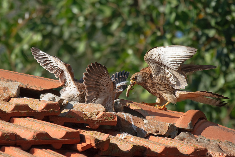 lesser kestrel, female feeding chicks<br /> נקבה מאכילה גוזלים