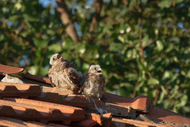 lesser kestrel, chicks