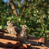 lesser kestrel, chicks
