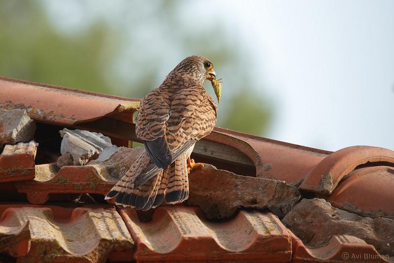 lesser kestrel, female on nest entrance<br /> נקבה בפתחת הקן
