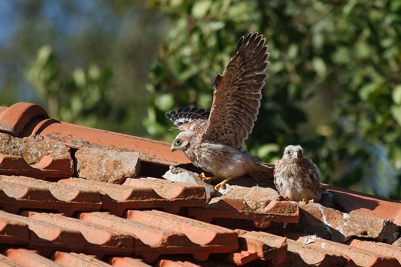 lesser kestrel, chicks<br /> גוזל בתרגולי תעופה ראשונים
