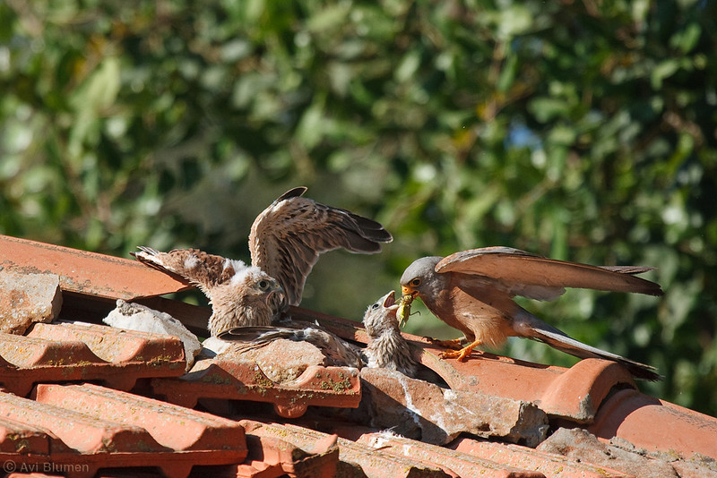lesser kestrel male feeding chicks זכר מאכיל גוזלים