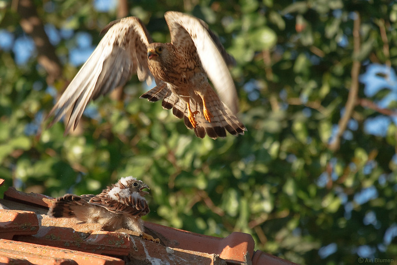 lesser kestrel, female & chicks<br /> נקבה ממריאה לאחר האכלה