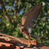 lesser kestrel, male<br /> זכר ממריא לאחר האכלה