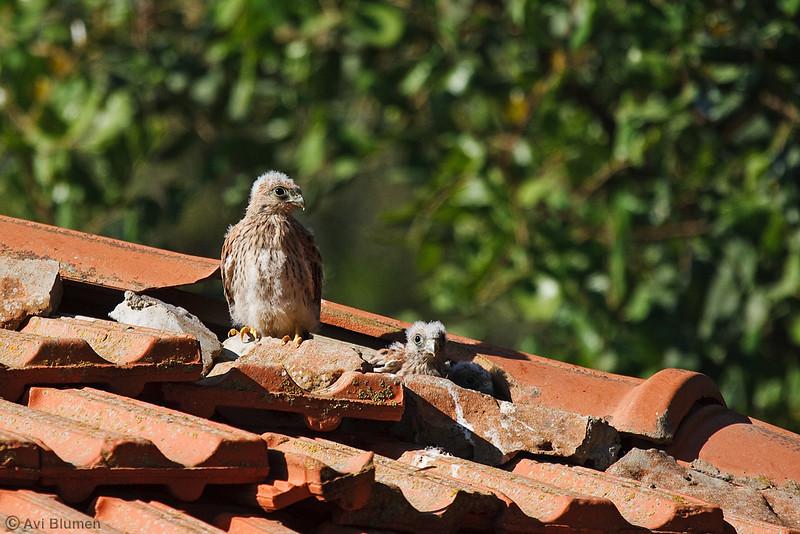 lesser kestrel chicks גוזלים