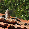 lesser kestrel chicks גוזלים